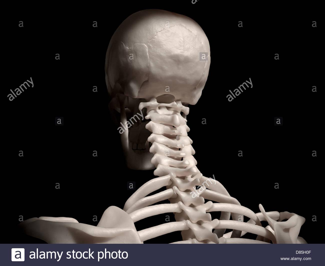 Digital Medical Illustration Posterior Back View Of Human Skull