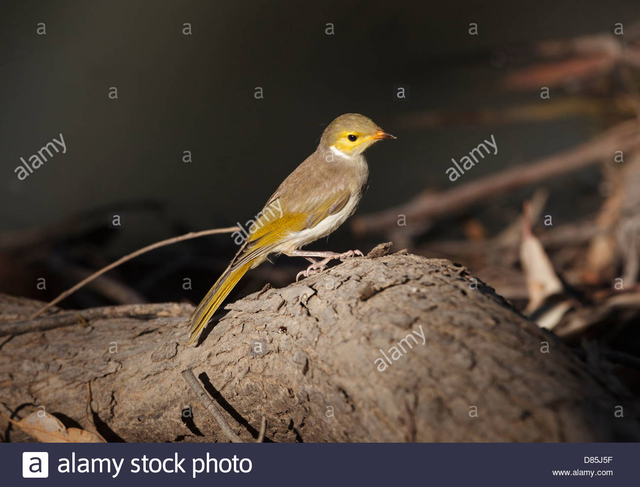 White-plumed Honeyeater on the bank of the Darling River, Kinchega National Park, New South Wales, Australia - Stock Image