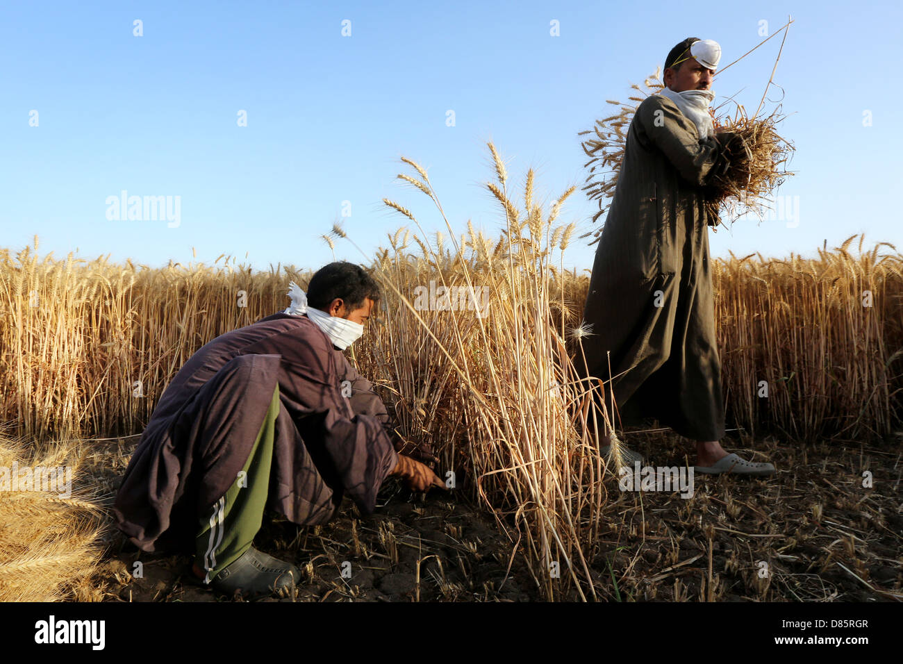 farmer harvesting wheat, Upper Egypt Stock Photo
