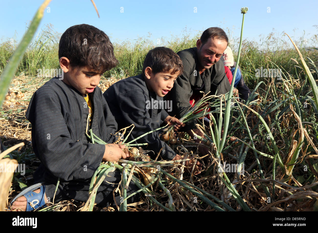 boys harvesting onions in Upper Egypt Stock Photo