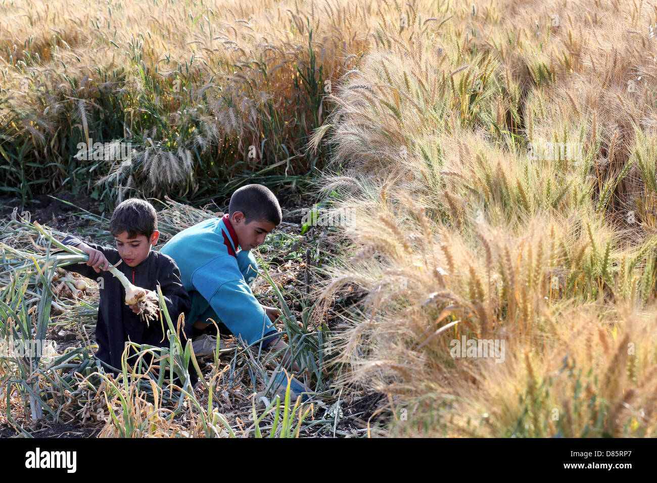 boys harvesting onions beside a wheat field in Upper Egypt - Stock Image