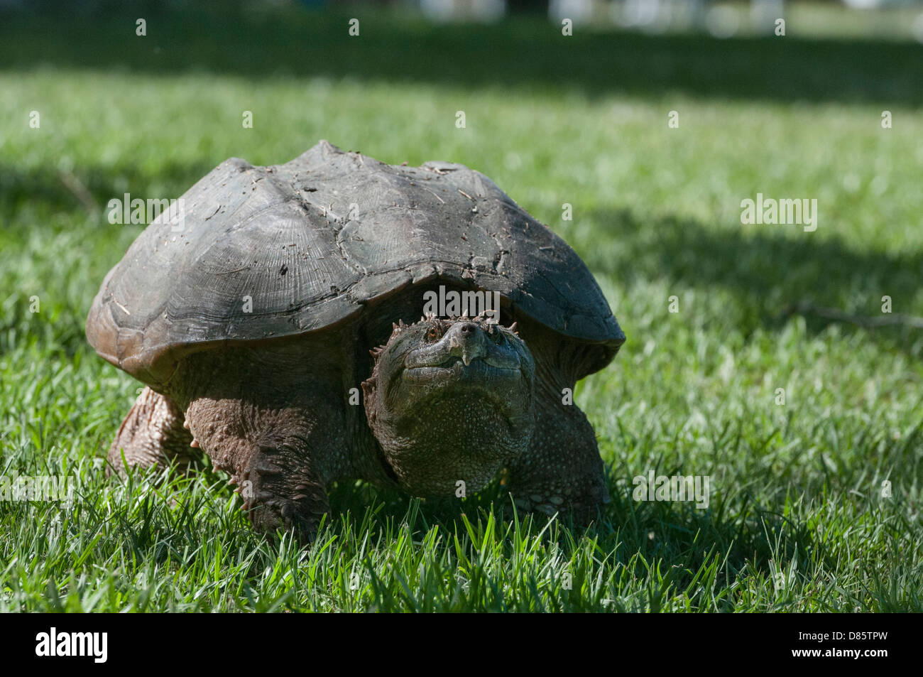Female Snapping Turtle looking for a place to lay her eggs on the shores of the Haines Creek River in Lake County, - Stock Image