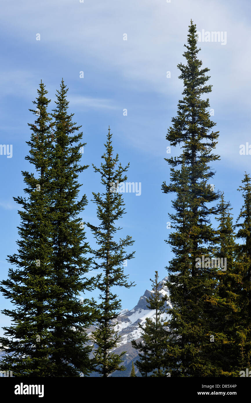 Lodgepole pine trees (Pinus contorta), Banff National Park Alberta Canada - Stock Image