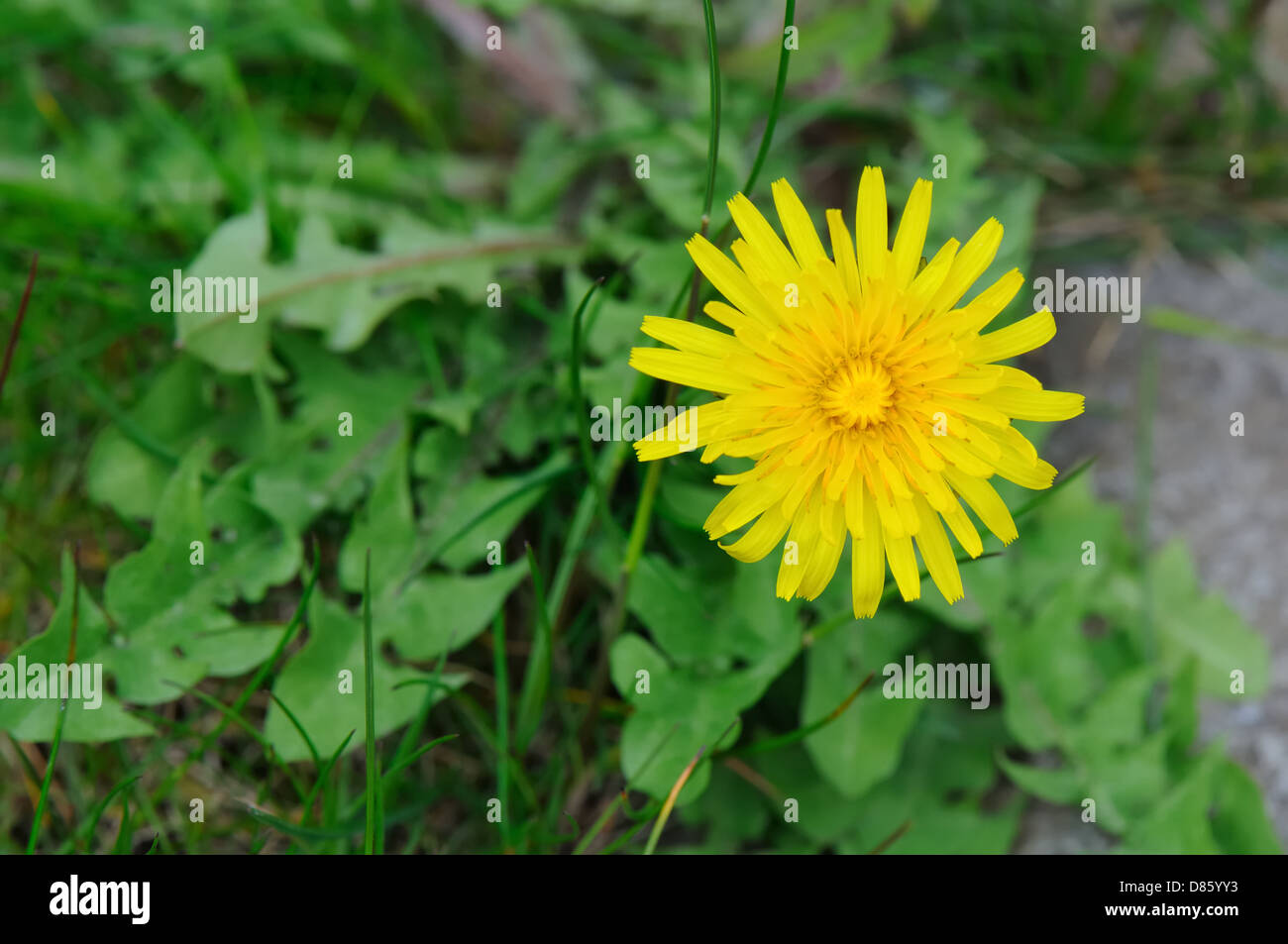 Dandelion flower and foliage on lawn - Stock Image