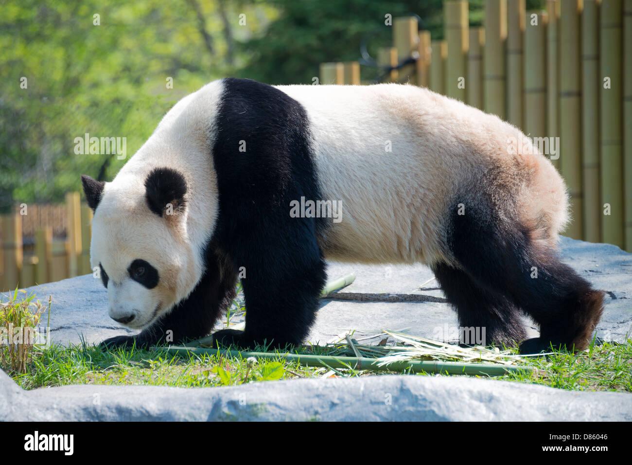 Toronto Zoo Pandas. - Stock Image