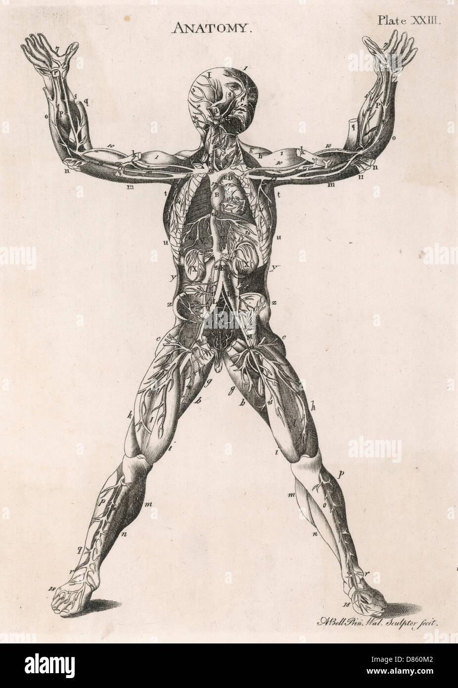 Anatomical Drawing Of The Human Body Stock Photo 56680626 Alamy