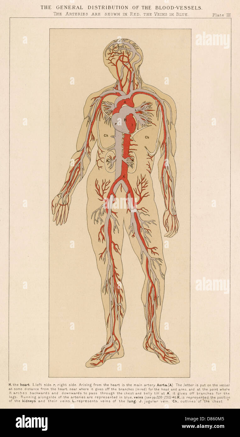 Human Body With Blood Vessels Stock Photo: 56680629 - Alamy