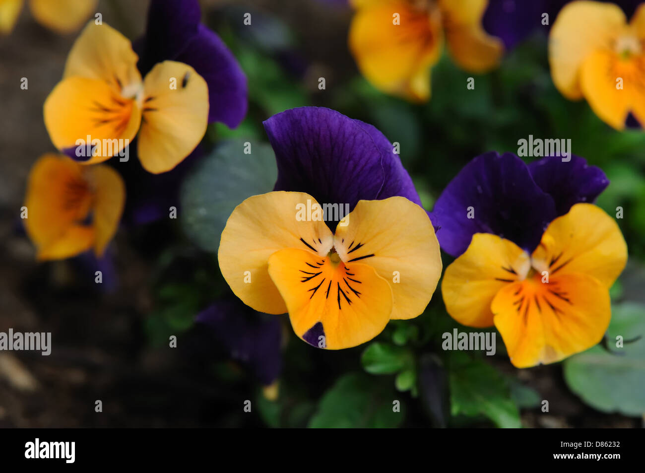 Viola - Horned Violet, Tufted Pansy Sorbet Sunny Royale - Stock Image