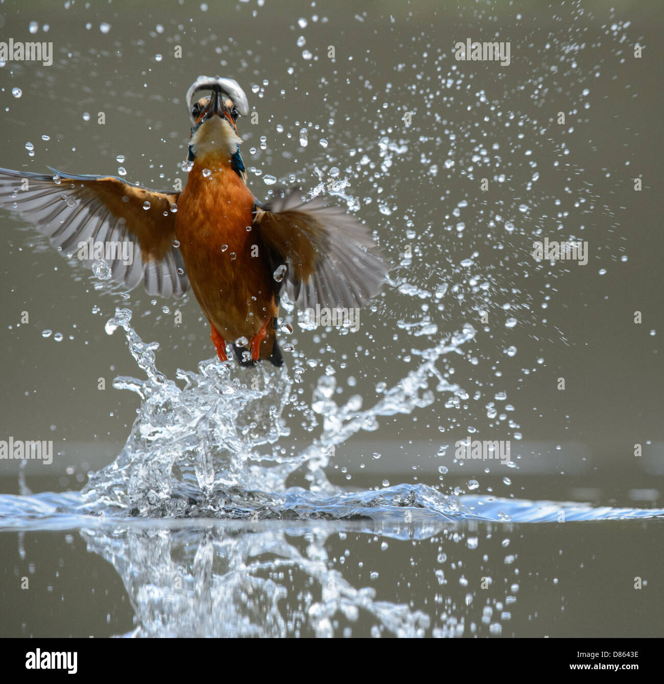 Diving kingfisher - Stock Image