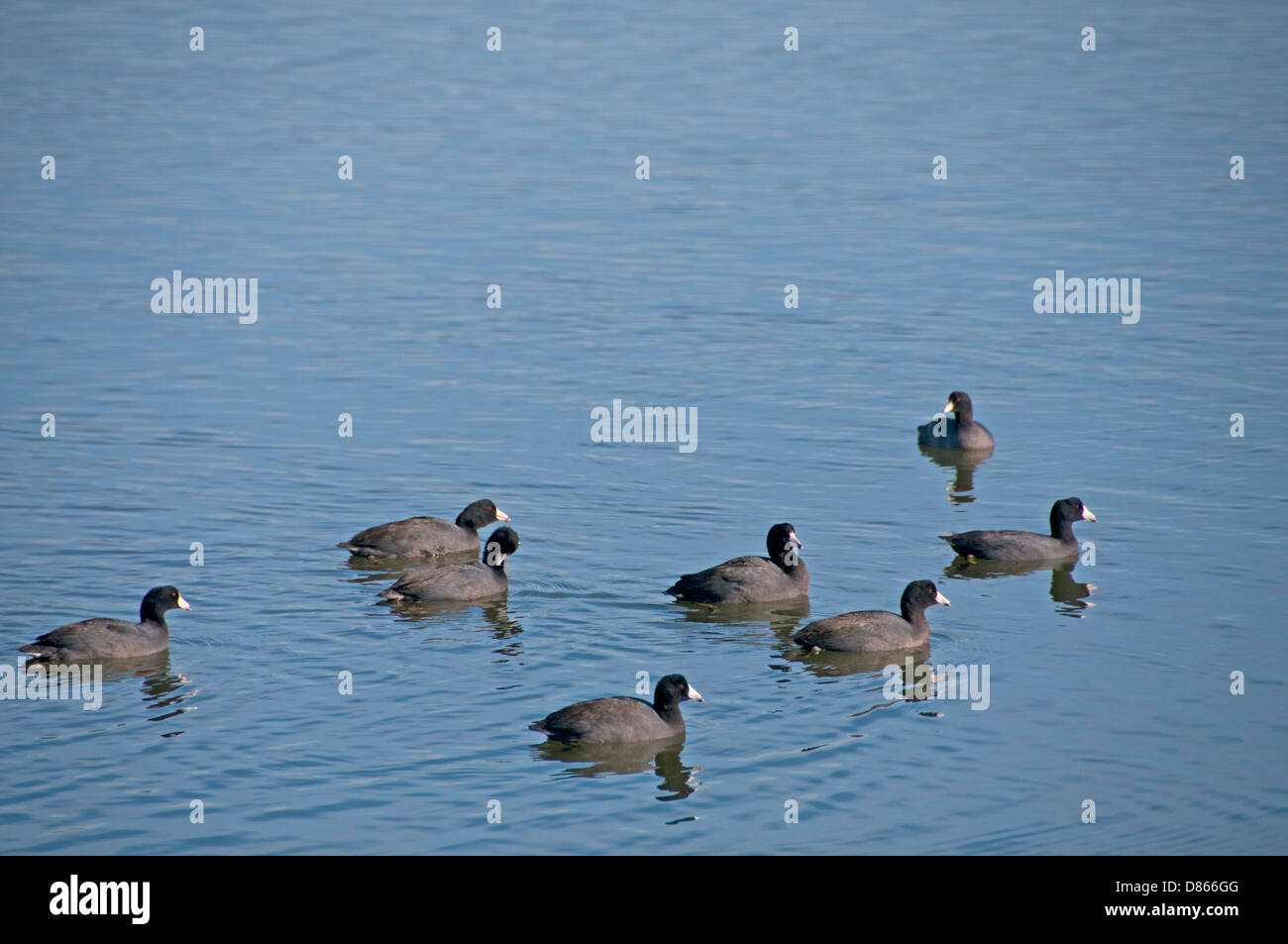 Small flock of American Coots Stock Photo