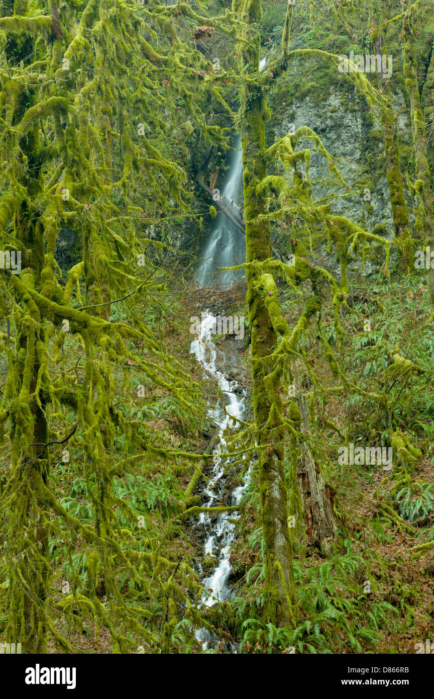 Moss covered Big Leaf Maple trees and seasonal waterfal. Silver Falls State Park, Oregon - Stock Image
