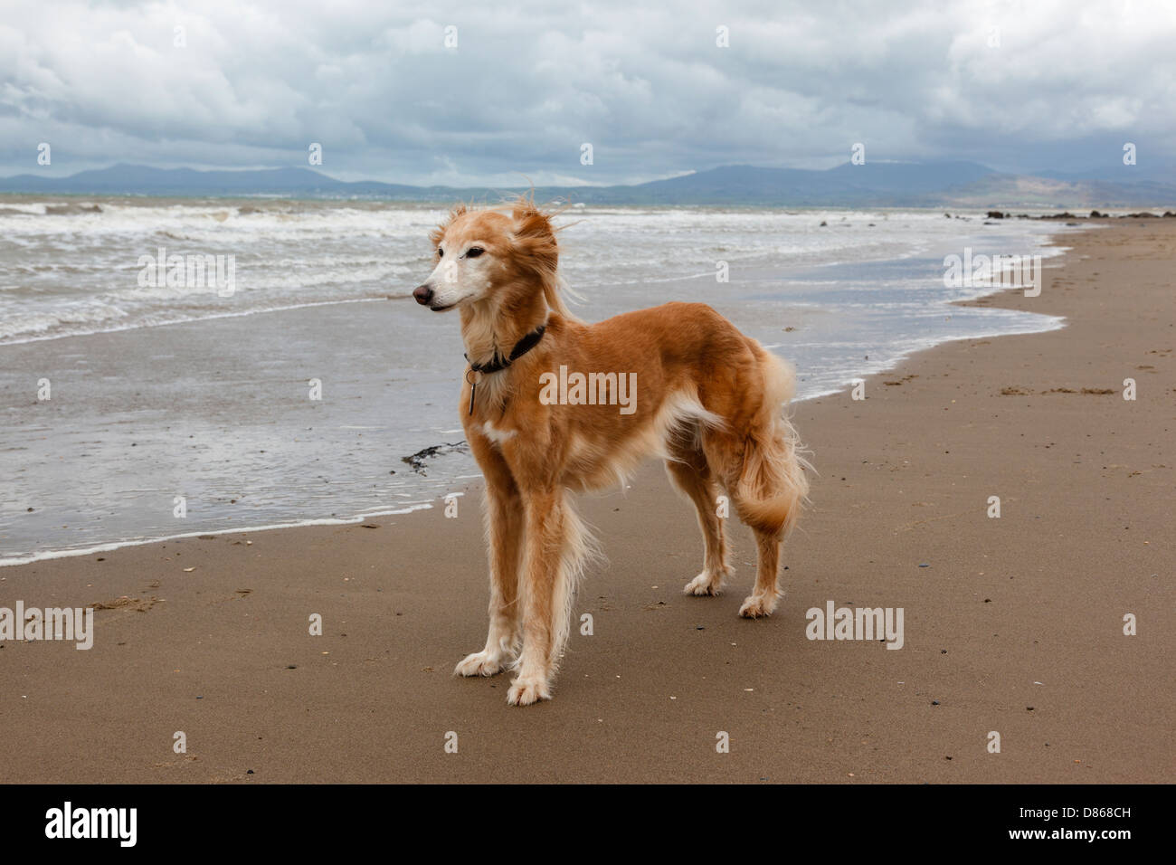 A saluki - whippet cross lurcher standing on a deserted beach in