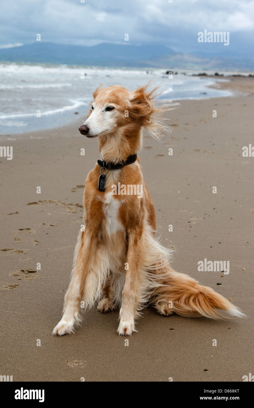 Saluki Whippet Stock Photos & Saluki Whippet Stock Images - Alamy