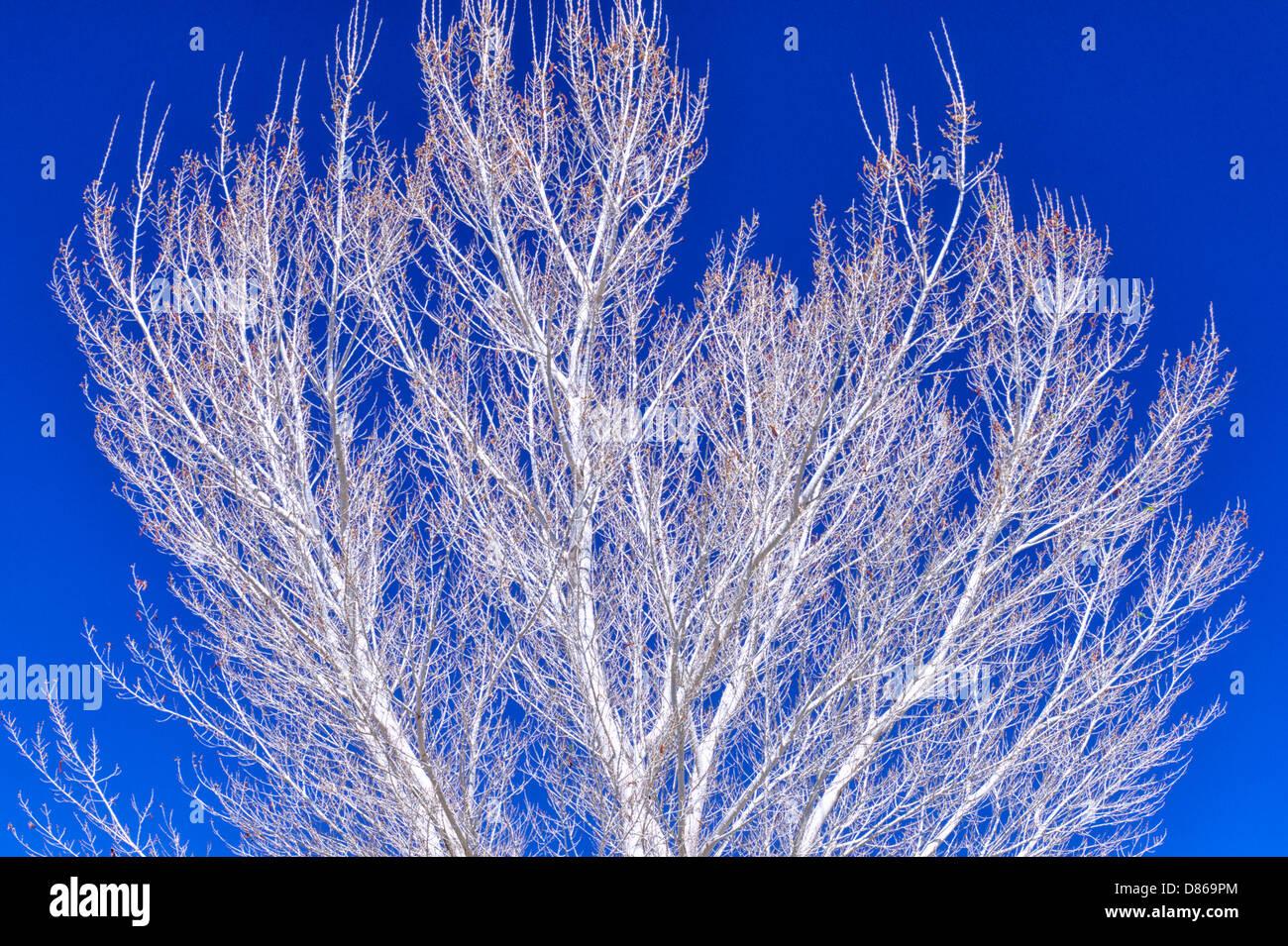 White bark of Cottonwood tree. White Water Preserve. California - Stock Image