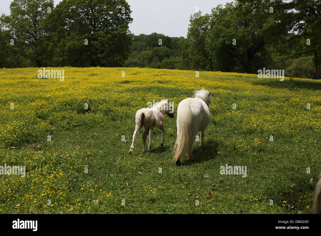 Page 9 Miniature Horse High Resolution Stock Photography And Images Alamy