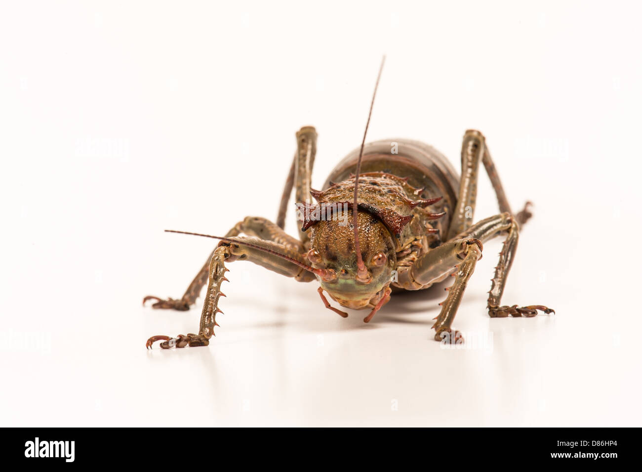Great Armored cricket - Stock Image