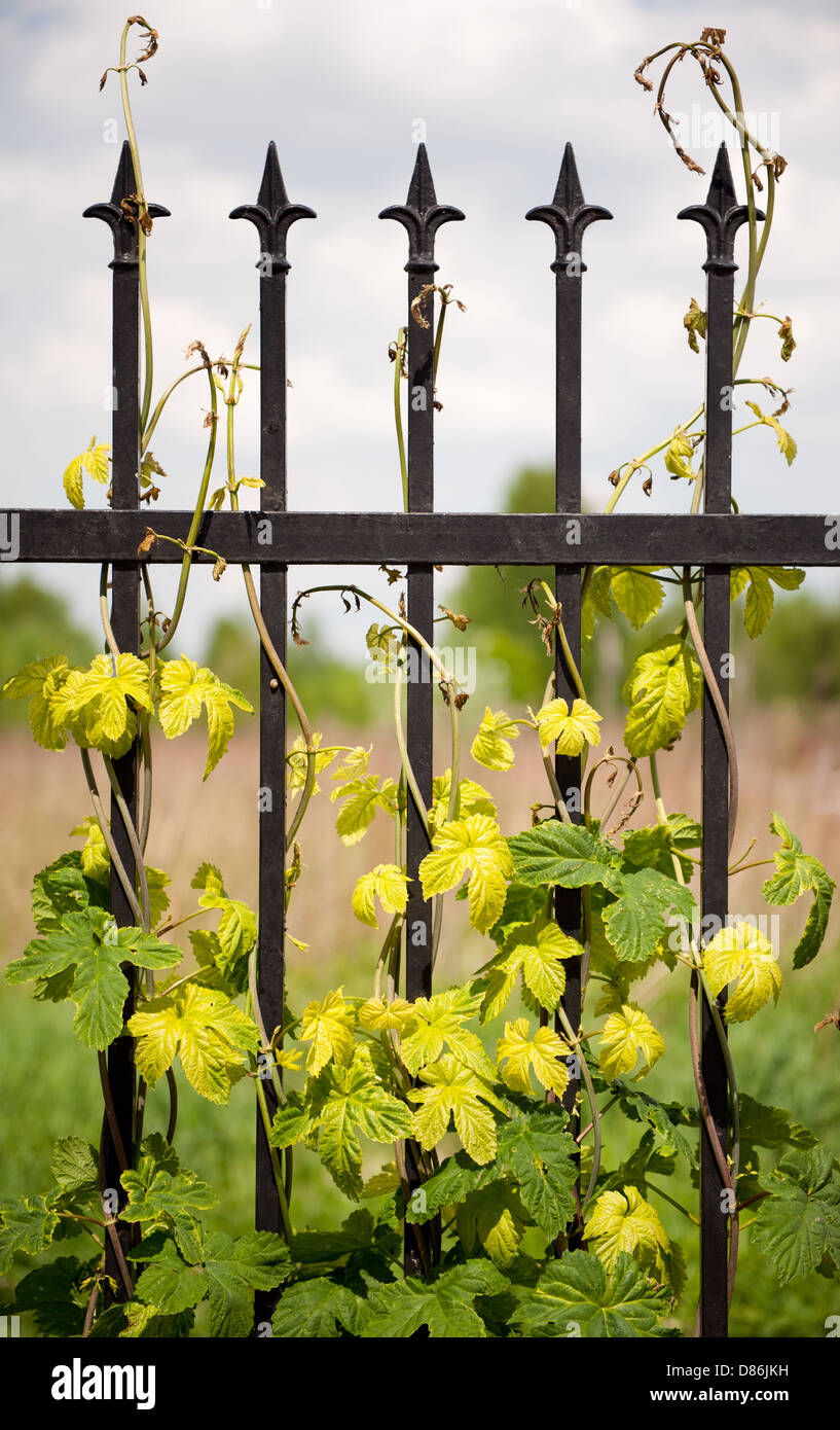 Climbing Humulus or hop growing on steel fence - Stock Image