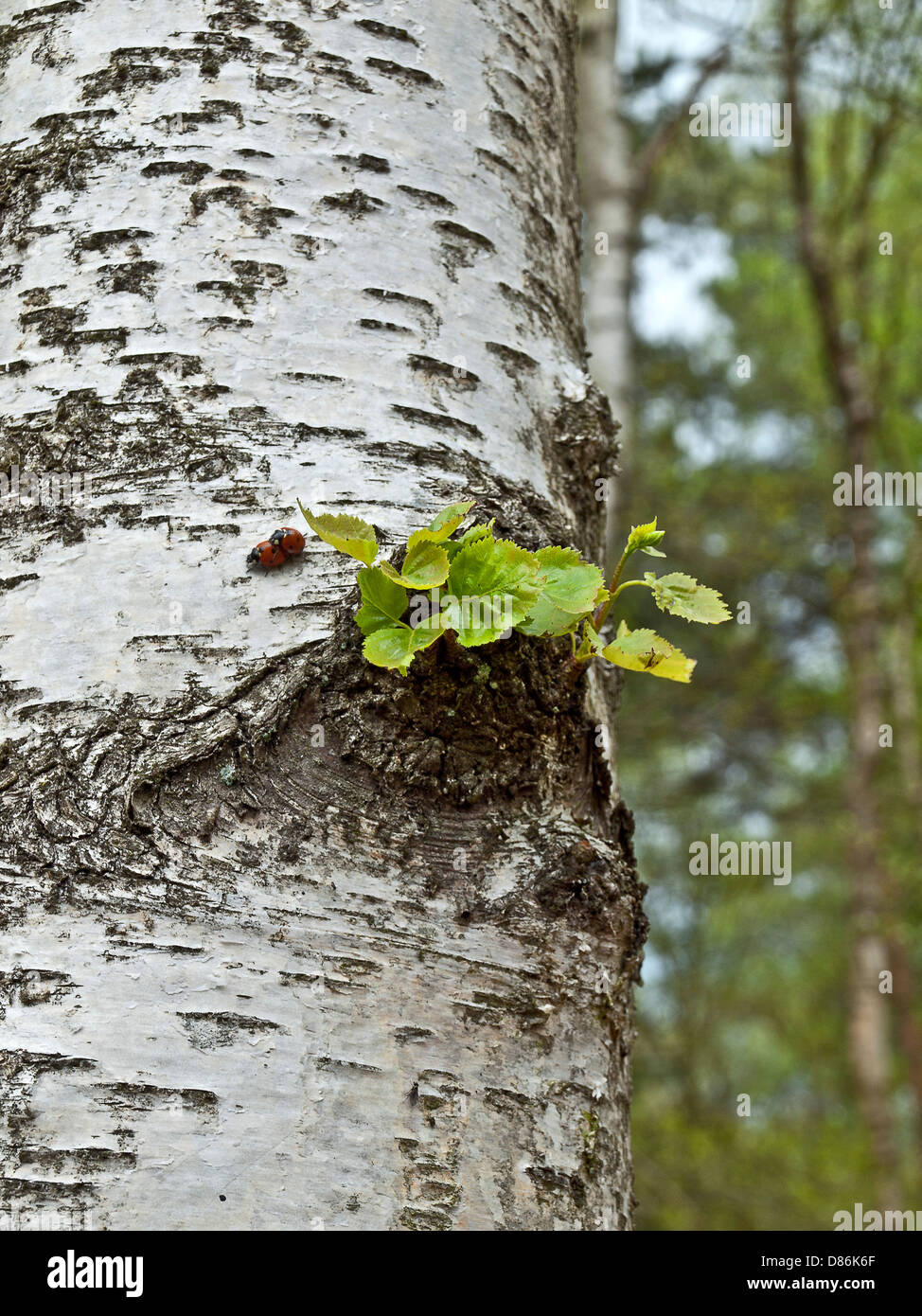 New shoot growing on the birch tree in spring time - Stock Image
