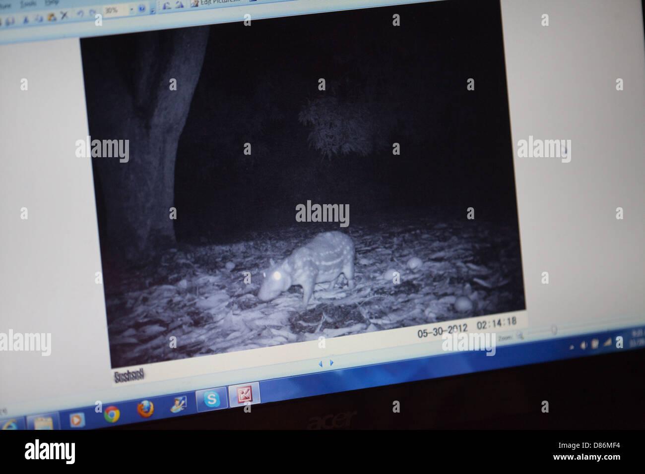 Camera trap image of a Paca (Cuniculus paca), viewed on a PC monitor screen. Recorded on the Karanambu Ranch Guyana. - Stock Image