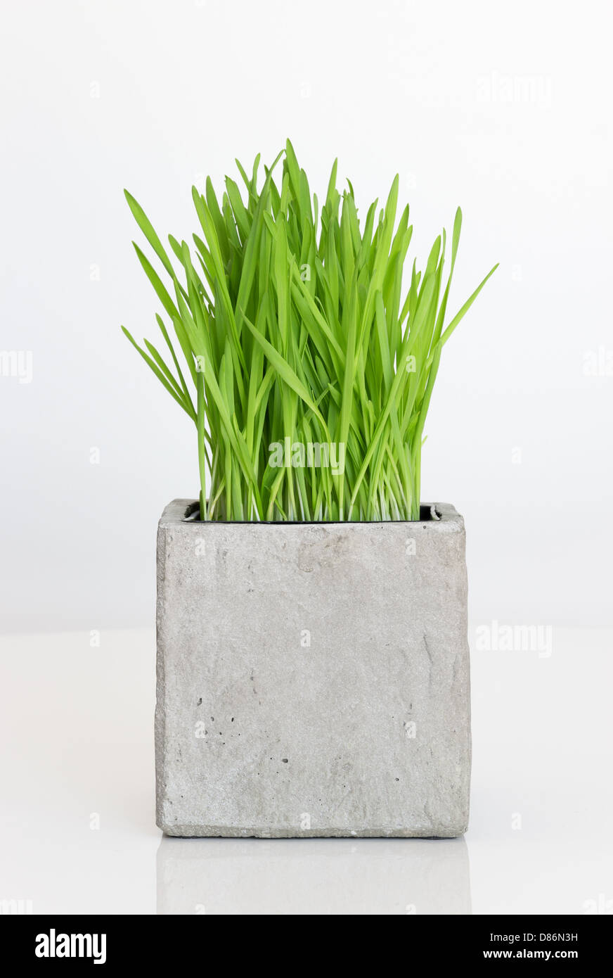 Fresh green wheatgrass growing in concrete pot. - Stock Image