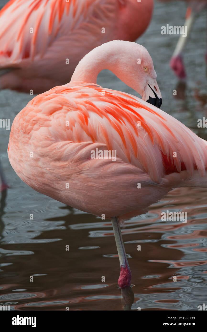 Chilean Flamingo (Phoenicopterus chilensis). Identification of this species or sub-species red or orange tibio-tarsal - Stock Image