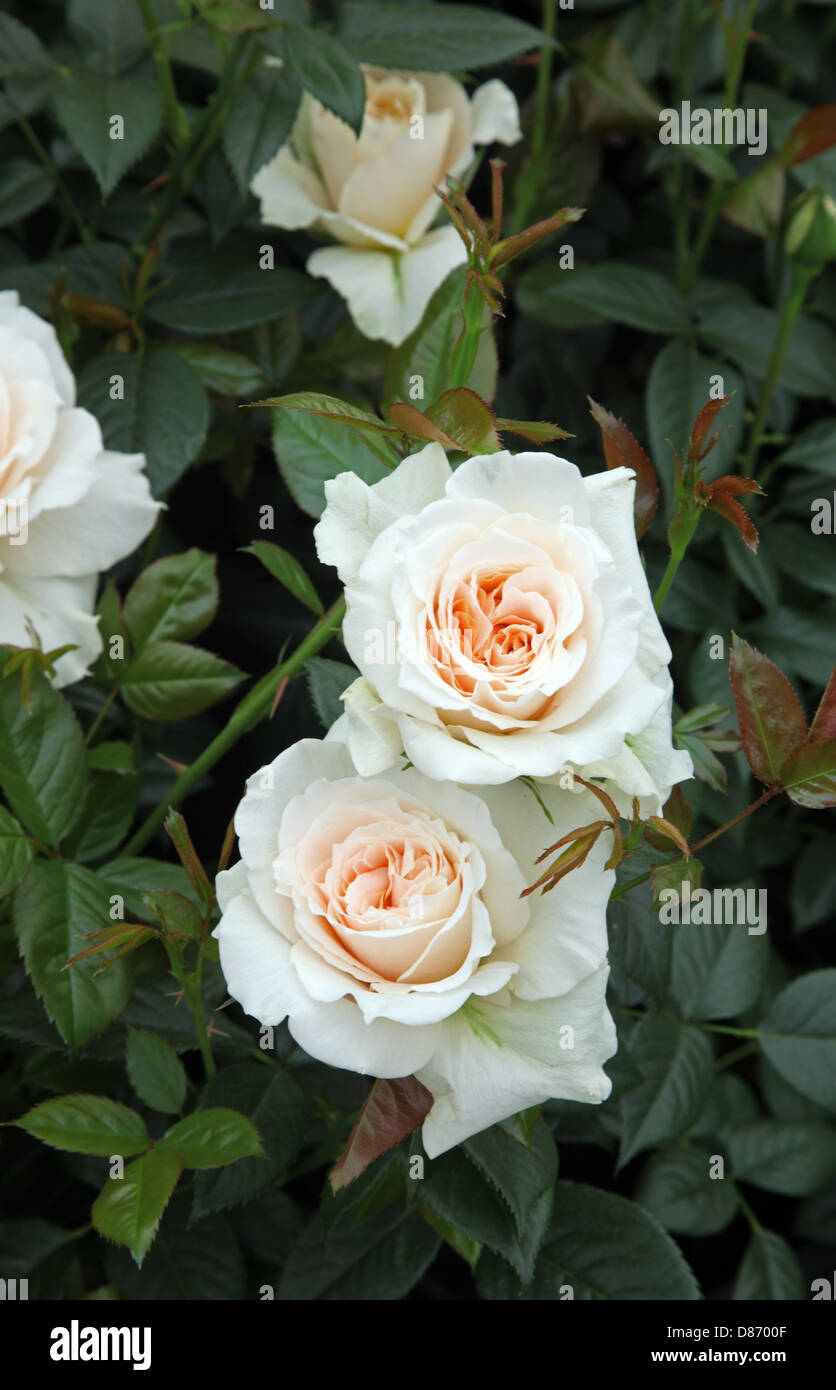 Rosa Pride and Prejudice, new cultivar from Harkness Roses, Chelsea Flower Show 2013 - Stock Image