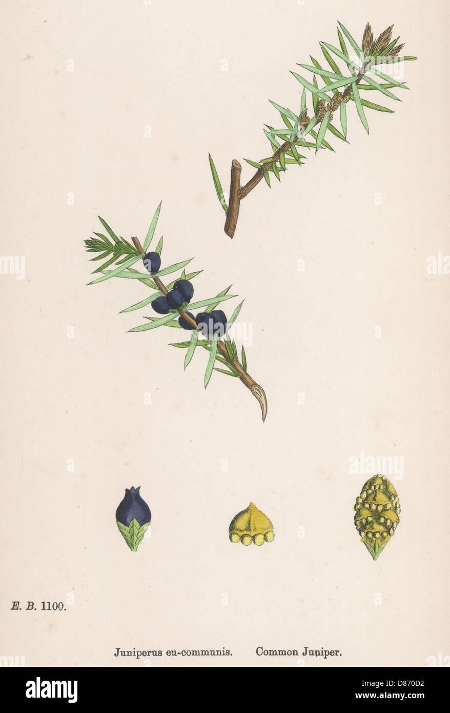 Plants Juniperus Communi Stock Photo