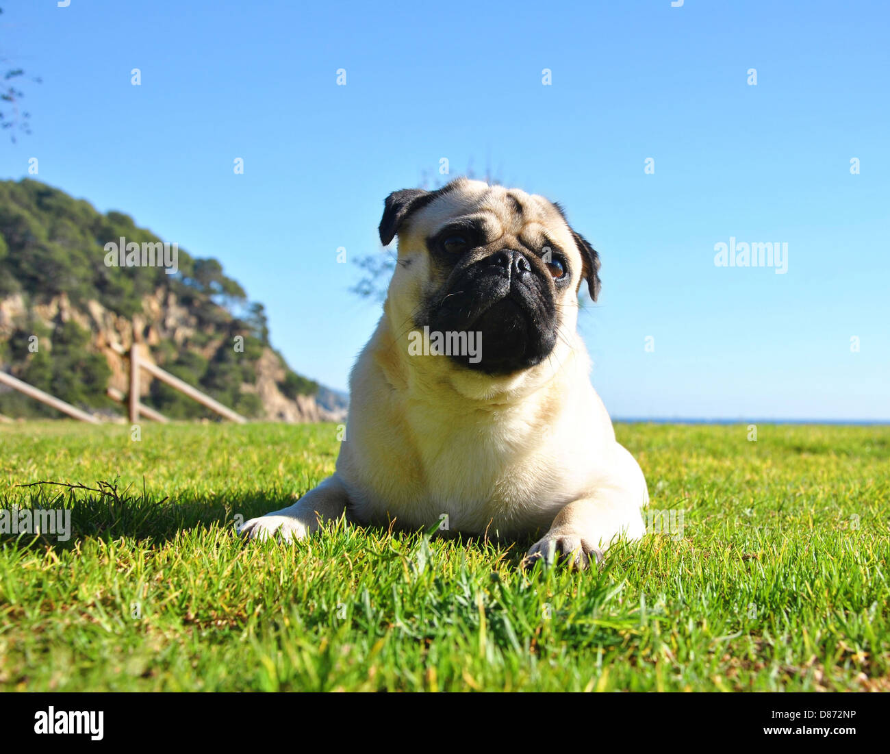 Pug in the garden - Stock Image
