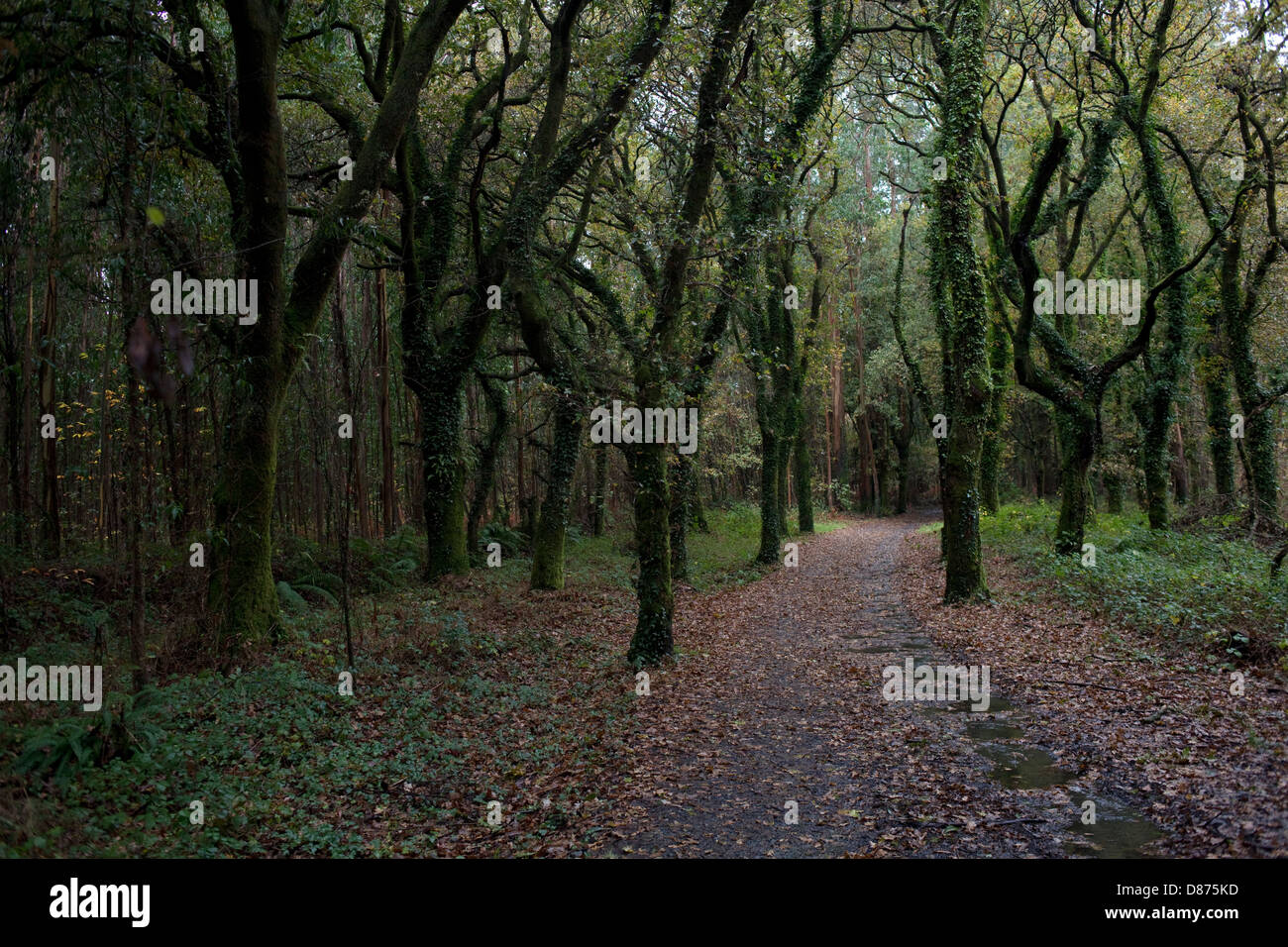 Rain in the woods through the Way of St. James - Stock Image