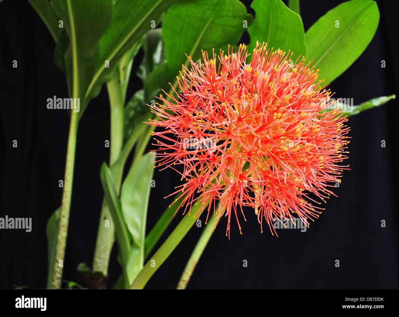 Haemanthus multiflorus plants and flower - Stock Image