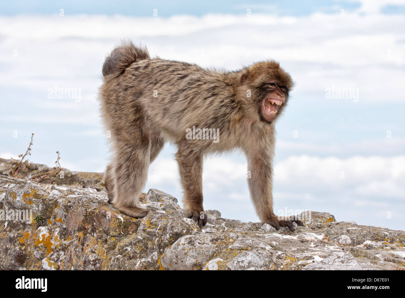 Breeding condition female Barbary Macaque - greeting grin - Stock Image