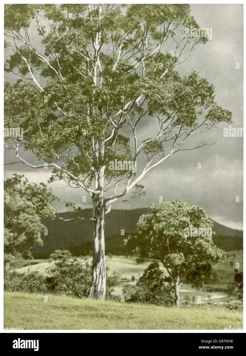 Trees Eucalyptus Regnans - Stock Image