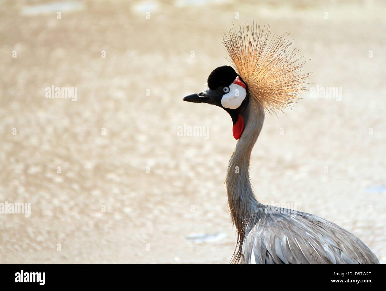 Grey Crowned Crane (Balearica Regulorum), Lake Manyara, Tanzania - Stock Image