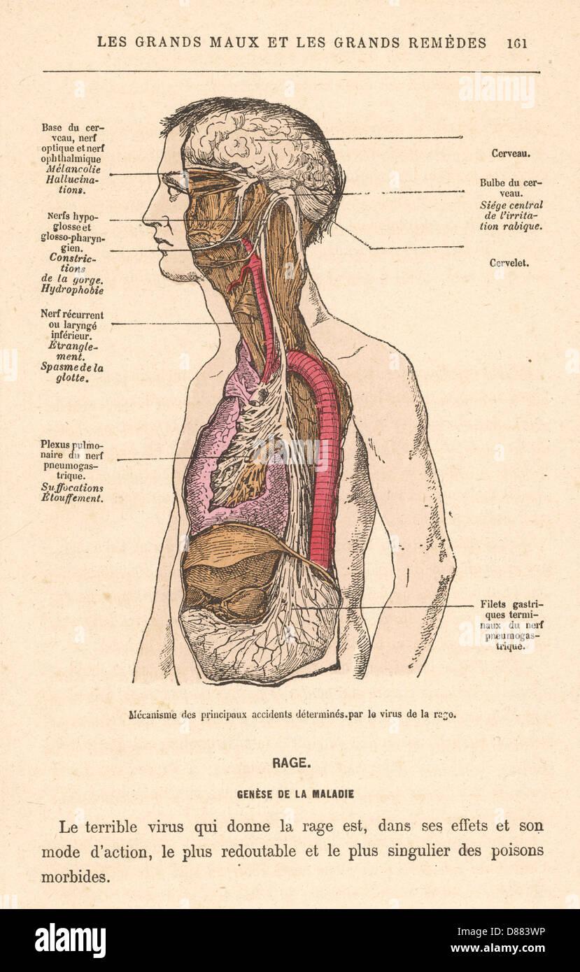 Symptoms Of Rabies 1870 - Stock Image