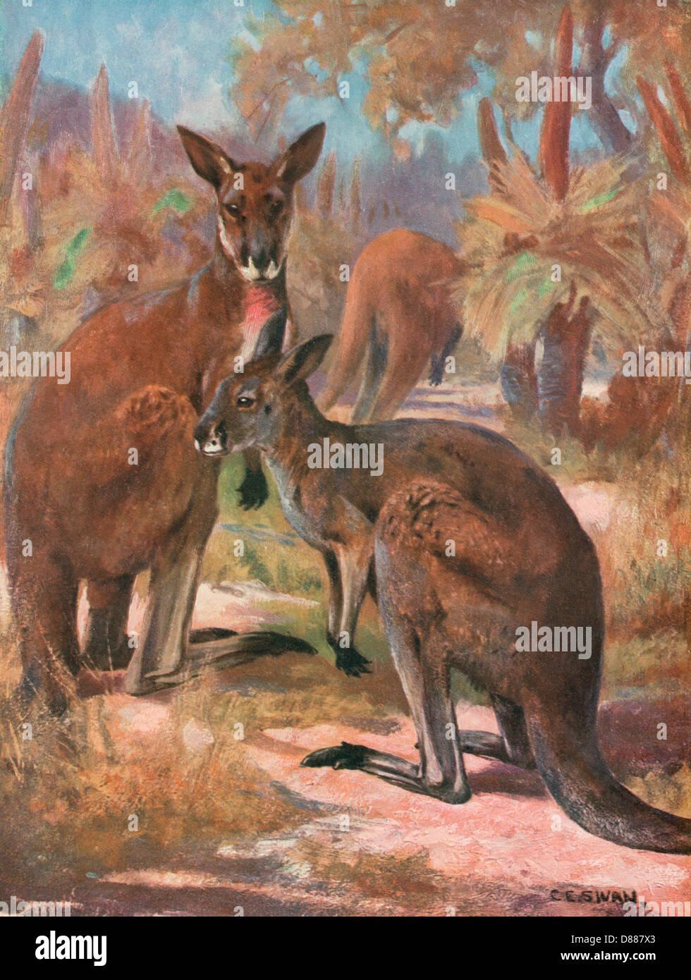 Kangaroos 1909 - Stock Image