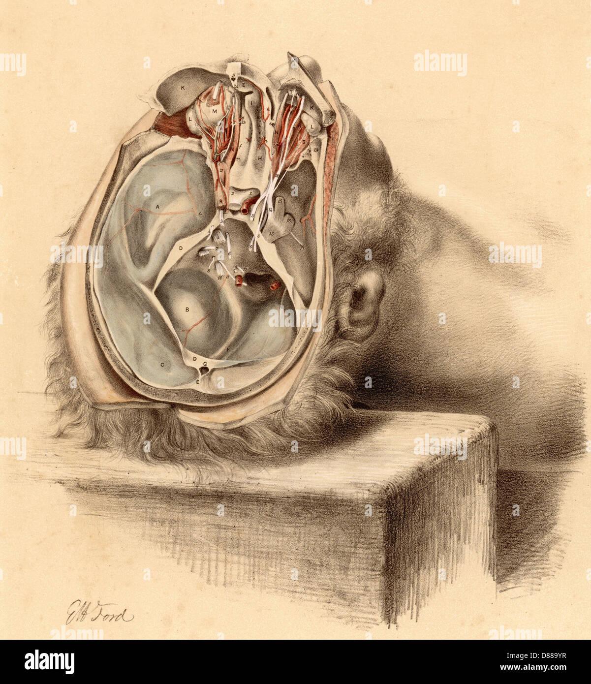 Anatomy Base Of Skull Stock Photo: 56731803 - Alamy