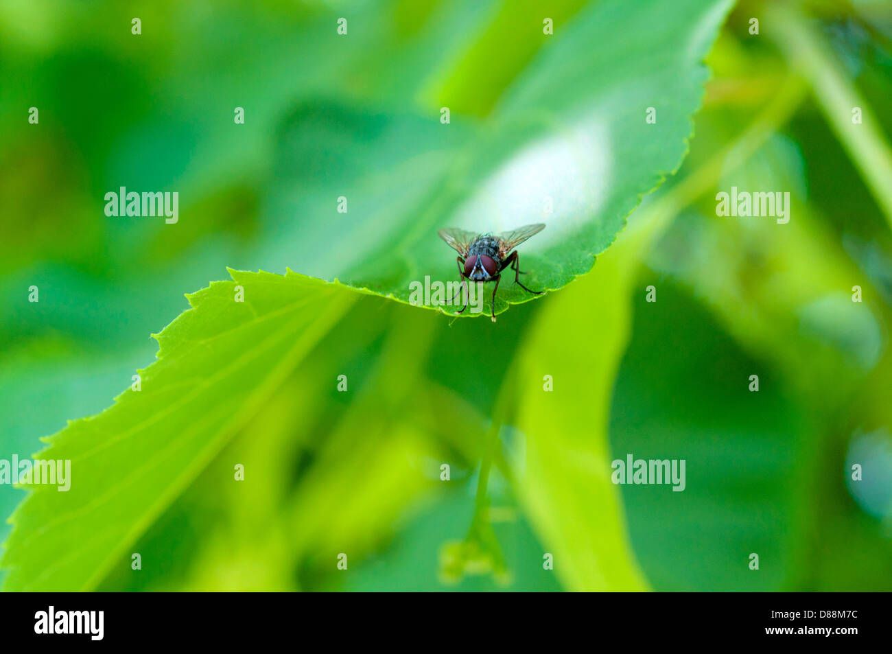 Small midge on the green leaf. Selective focus on the bug - Stock Image