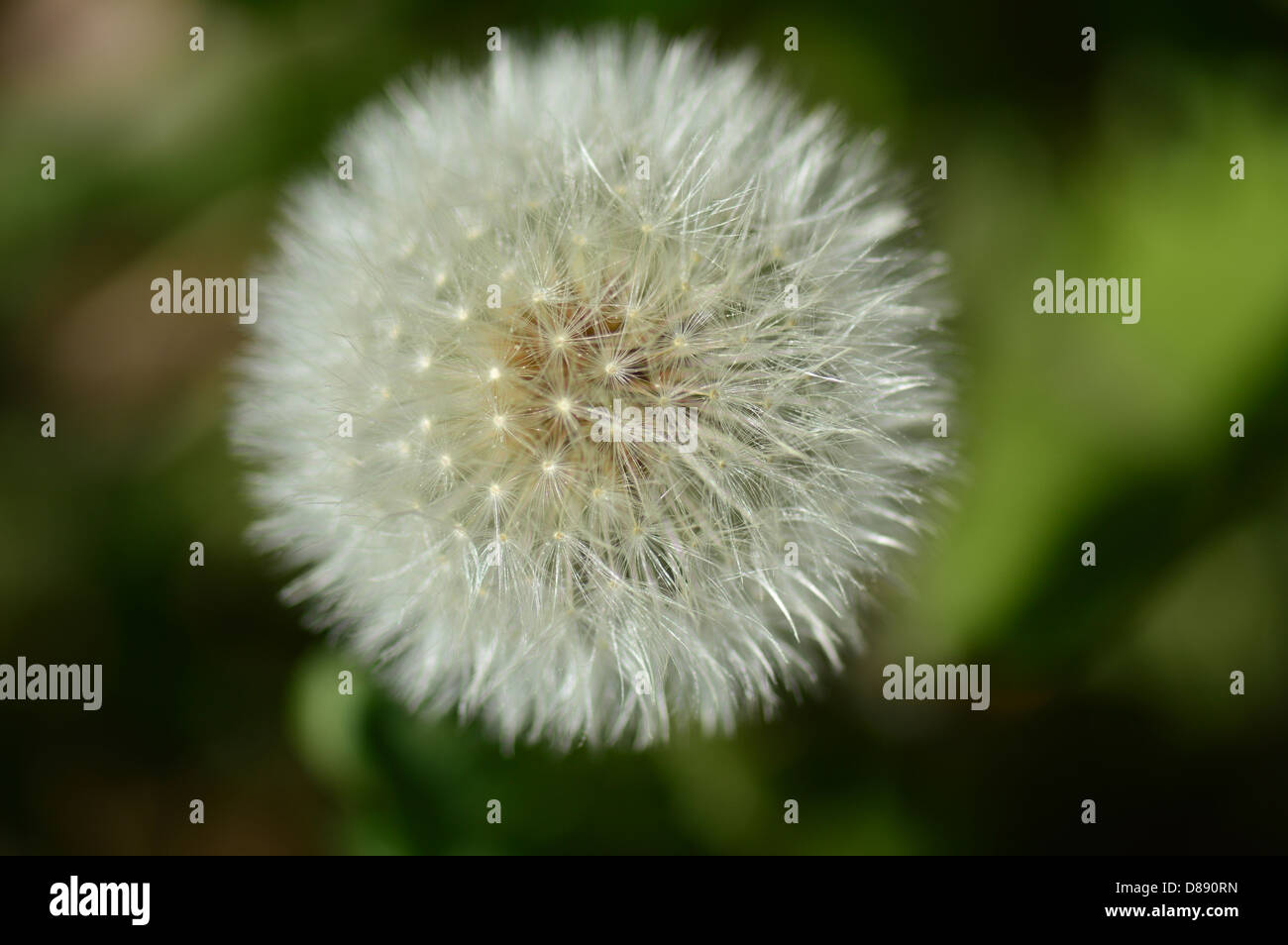 Close up restricted focus image of a dandelion clock seedhead - Stock Image
