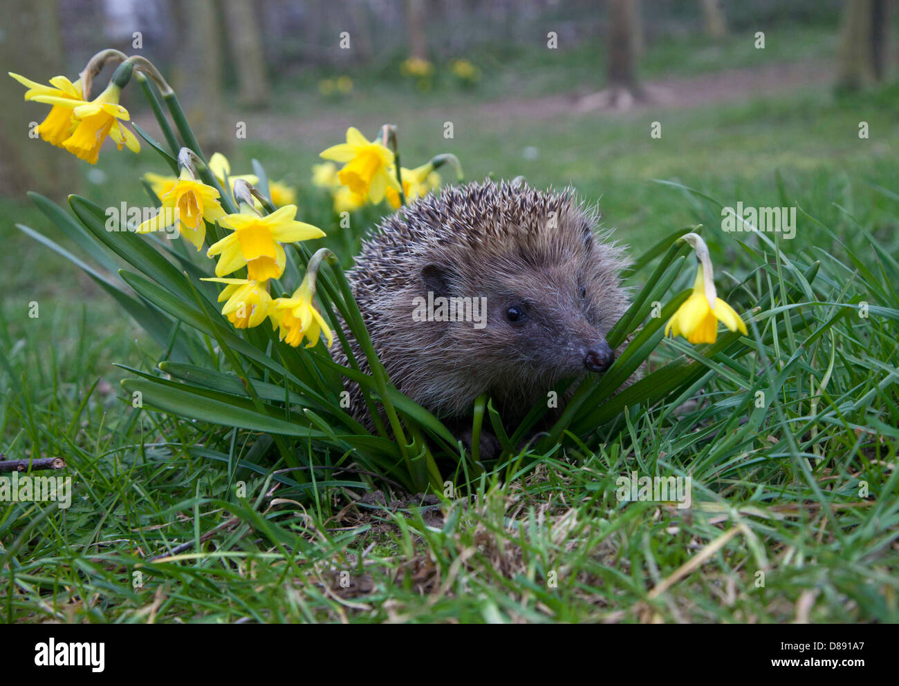 European hedgehog in garden - Stock Image