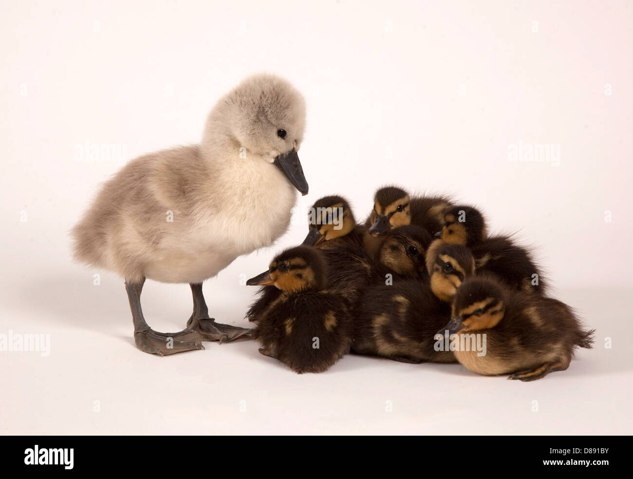 Mute swan cygnet and mallard ducklings in studio - Stock Image
