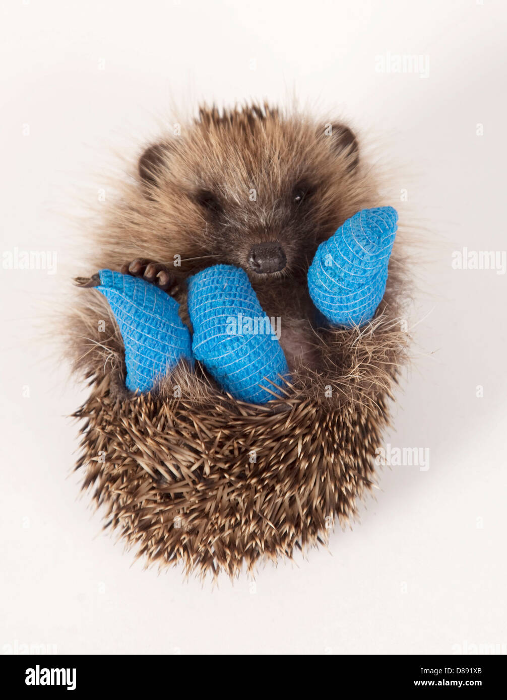 Juvenile European hedgehog with three legs in bandages - Stock Image
