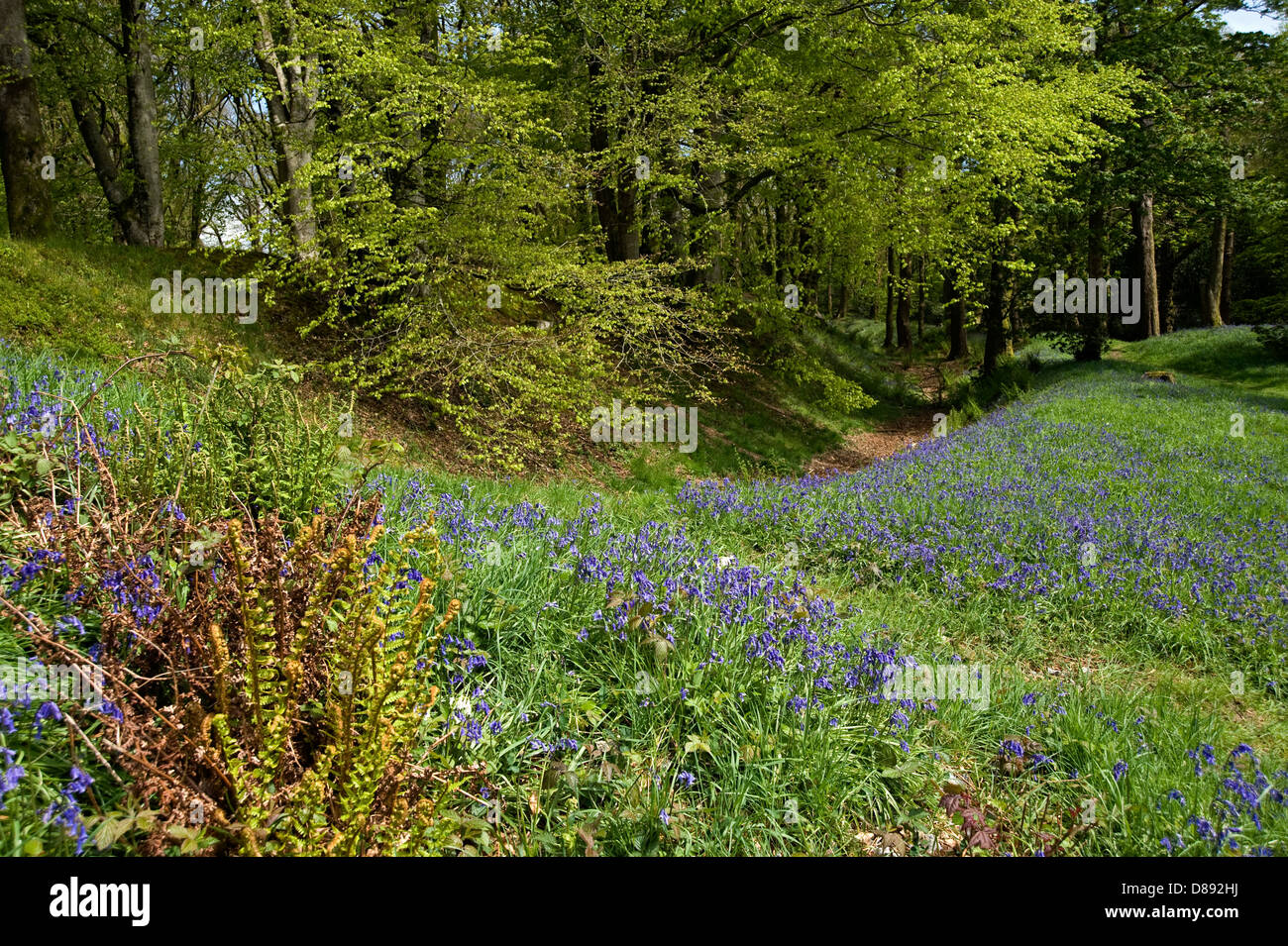bluebells flowering at Blackbury Camp, a Devon Iron-age fort, with beech and oak trees in young leaf on a bright - Stock Image