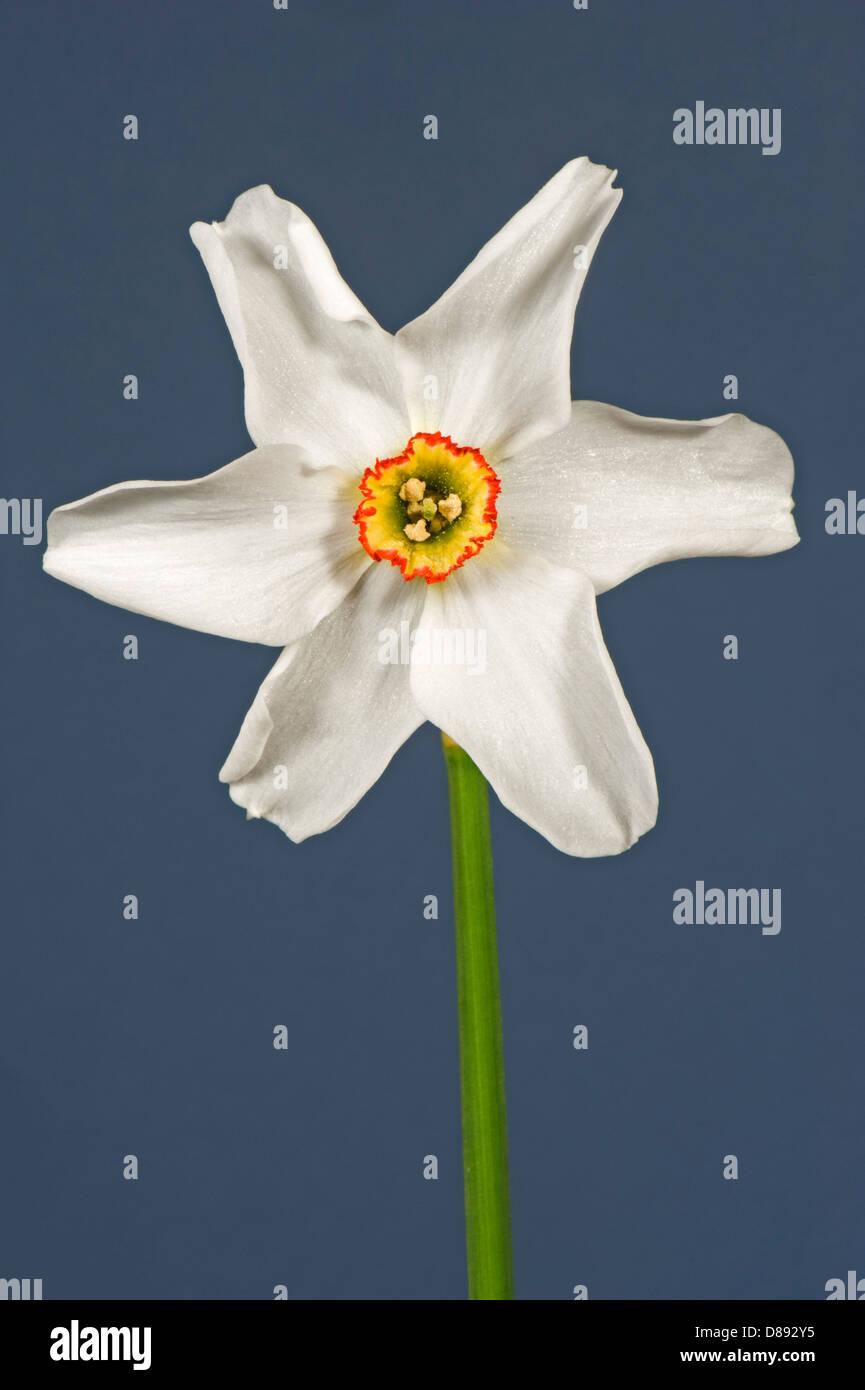 Poet's narcissus, Narcissus poeticus, flower - Stock Image