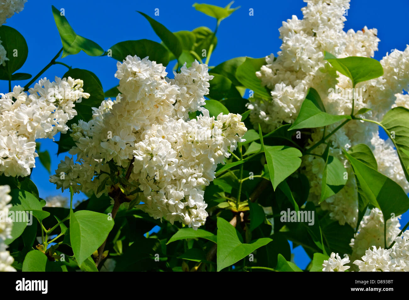 White Lilac blossoms on tree. (syringa ) - Stock Image