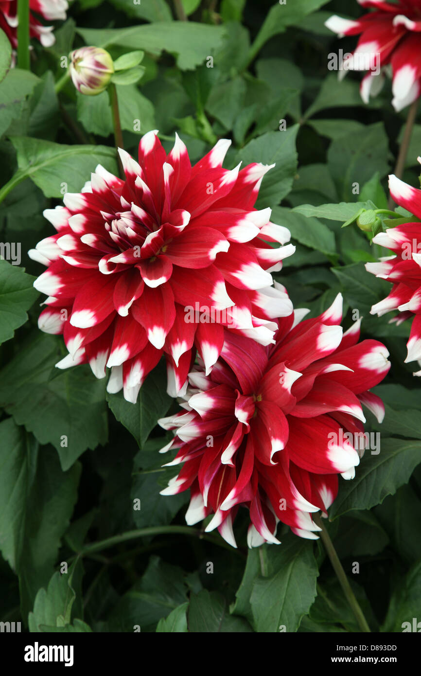Dahlia Duet, shown at the RHS Chelsea Flower Show 2013 - Stock Image