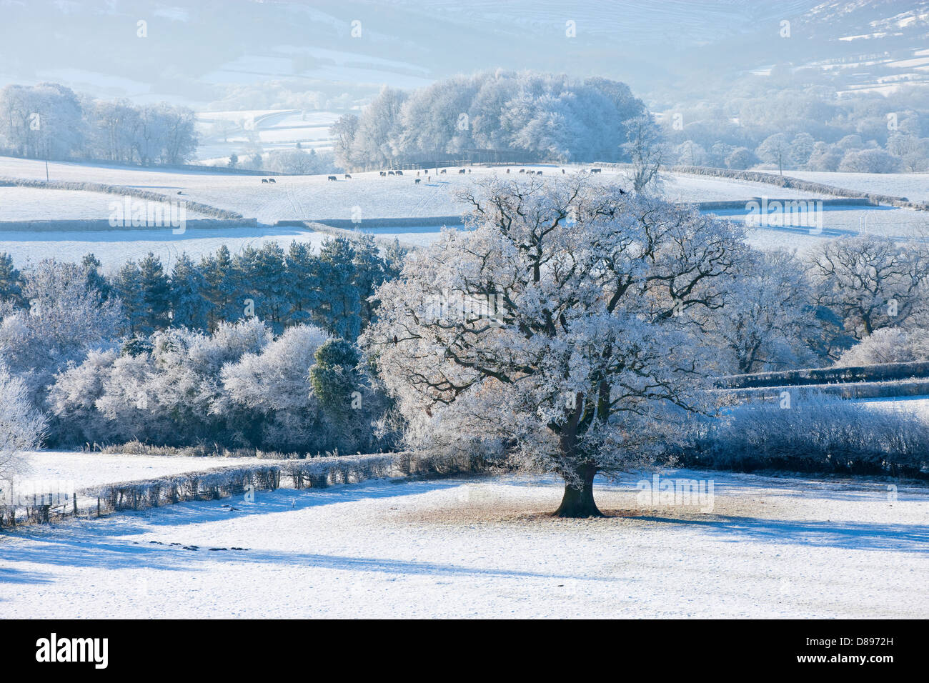 Snow covered tree and fields in Brecon Beacons Powys Wales in winter - Stock Image