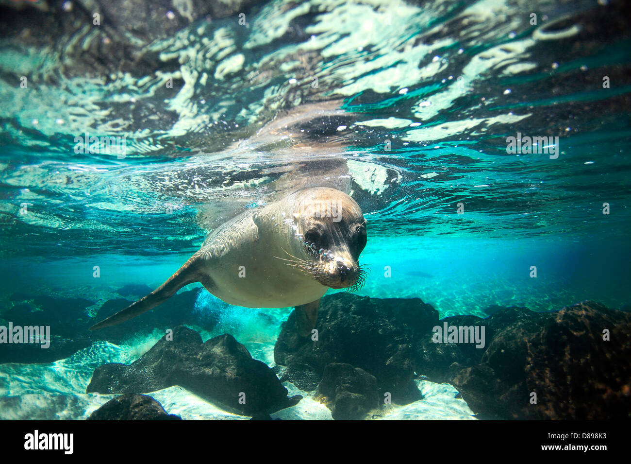 Curious sea lion underwater Galapagos Islands - Stock Image