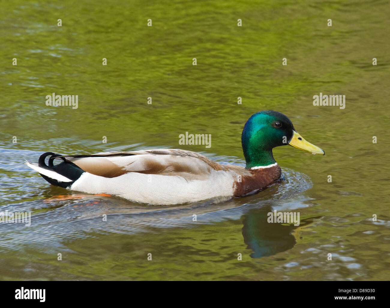 Male mallard, Anus platyrhynchos. - Stock Image