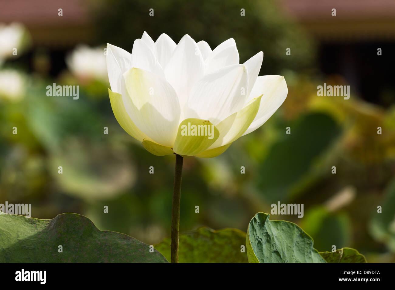 White Lotus Flower Nelumbo Nucifera In A Pond Inside The Royal