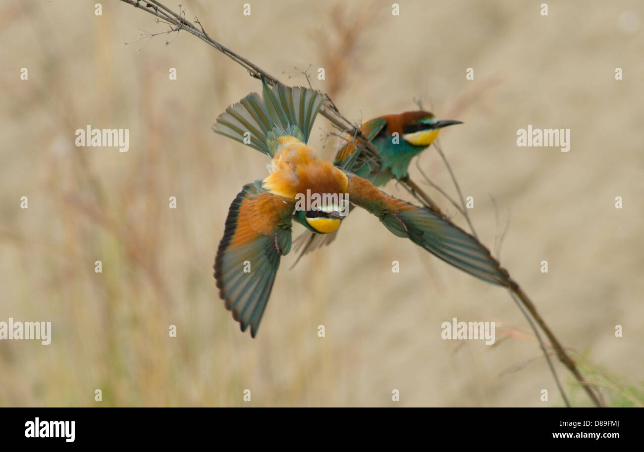European Bee Eater in flight after taking off from nearby branch Stock Photo